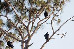 IMG_1826 (armadil) Tags: landingroad florida kenansville bird birds vulture vultures blackvulture blackvultures