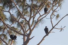 IMG_1827 (armadil) Tags: landingroad florida kenansville bird birds vulture vultures blackvulture blackvultures