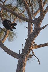 IMG_1833 (armadil) Tags: landingroad florida kenansville bird birds vulture vultures blackvulture blackvultures