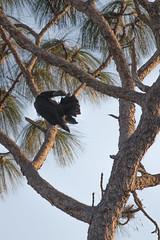 IMG_1835 (armadil) Tags: landingroad florida kenansville bird birds vulture vultures blackvulture blackvultures