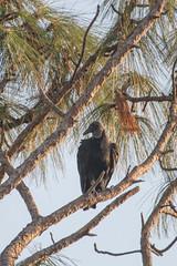 IMG_1838 (armadil) Tags: landingroad florida kenansville bird birds vulture vultures blackvulture blackvultures