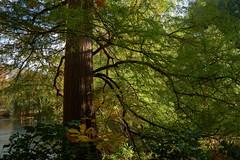 Black Cypress Tree in Autumnal Light (Eric Gross Photography) Tags: tree juniper landscape centralpark newyork manhattan autumn fall light shadow