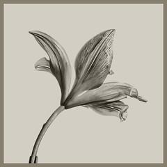 Fleur-de-Lis #2 2019; (hamsiksa) Tags: plants flora flowers blooms blossoms liliaceae fleurdelis botanicals stilllife stilllifes botany studio studiophotography botanicalphotography