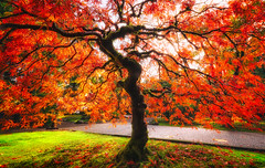 Red maple (Hongyu Guo) Tags: maple foliage landscape fall autumn red backlit
