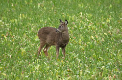 Lil Buck (Diane Marshman) Tags: whitetail buck deer small brown black white gray tan fur antlers points field crops large animal fall autumn season pa pennsylvania state nature wildlife male immature