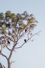 IMG_1817 (armadil) Tags: landingroad florida kenansville bird birds vulture vultures blackvulture blackvultures