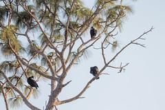 IMG_1819 (armadil) Tags: landingroad florida kenansville bird birds vulture vultures blackvulture blackvultures