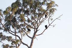 IMG_1823 (armadil) Tags: landingroad florida kenansville bird birds vulture vultures blackvulture blackvultures