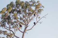 IMG_1822 (armadil) Tags: landingroad florida kenansville bird birds vulture vultures blackvulture blackvultures