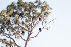 IMG_1824 (armadil) Tags: landingroad florida kenansville bird birds vulture vultures blackvulture blackvultures