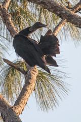 IMG_1831 (armadil) Tags: landingroad florida kenansville bird birds vulture vultures blackvulture blackvultures