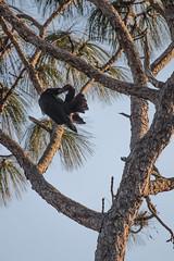IMG_1834 (armadil) Tags: landingroad florida kenansville bird birds vulture vultures blackvulture blackvultures