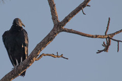 IMG_1837 (armadil) Tags: landingroad florida kenansville bird birds vulture vultures blackvulture blackvultures