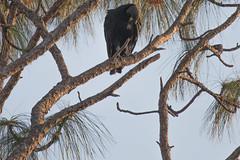 IMG_1842 (armadil) Tags: landingroad florida kenansville bird birds vulture vultures blackvulture blackvultures