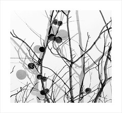 Double Berries (Demmer S) Tags: treebranches tree branch nature seasonal plants autumn trees berries branches berry plant fall outdoors botanical gardening seasons gardens outside treebranch garden multipleexposure multiexposure doubleexposure double layers superimposition artistictechniques photographictechniques multilayer digitalart experimentalphotography digitalartist digiart art creativeedit filtereffect artsy macro closeup close border frame photoborder framed onwhite whitebackground bw monochrome blackwhite blackandwhite blackwhitephotos blackwhitephoto
