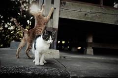 morning kittens (Sat Sue) Tags: olympus micro four thirds m43 penf japan fukuoka shrine cat
