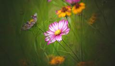 Wildflower (Dhina A) Tags: sony a7rii ilce7rm2 a7r2 a7r minolta rf rokkorx 250mm f56 mirror reflex minolta250mmf56 md prime rokkor bokeh manualfocus lens