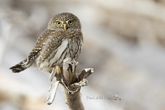 Cute As A Button (PamsWildImages) Tags: cute pamswildimages wildlife raptor nature pygmy owl bird