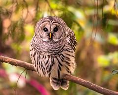 Welcome Visitor (ausmc_1) Tags: yard portalberni d800 barredowl nov canada britishcolumbia raptor 2019 vancouverisland
