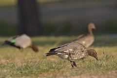 Australian Wood Ducks (Luke6876) Tags: australianwoodduck woodduck duck ducks bird animal wildlife australianwildlife nature