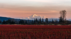 Cranberry Delight (Sworldguy) Tags: fraser valley lowermainland mountbaker sunset crop britishcolumbia canada westcoast agriculture fields red sonya7iii