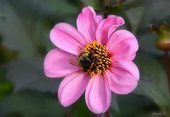 In the Pink (Eleanor (New account))) Tags: flower pinkflower dhalia bee grimsdyke harrowweald england uk nikond7100 october2019