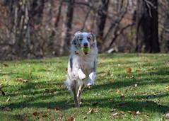Fetch! Explored 11062019 (EHPett) Tags: dog pet aussie shepherd running ball