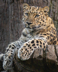 Comfortable Cat (Penny Hyde) Tags: amurleopard bigcat leopard sandiegozoo