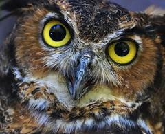 Great Horned Owl (dianne_stankiewicz) Tags: nature wildlife bird owl raptor greathornedowl portrait