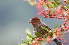 紋翼畫眉。狀元紅 (mikleyu) Tags: 鳥 動物 自然