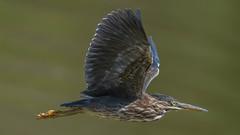 Green Heron  8719 (Paul McGoveran) Tags: bif bird birdinflight greenheron hendrievalley nature nikon500mmf4 nikond500 nikond850 coth5 sunrays5