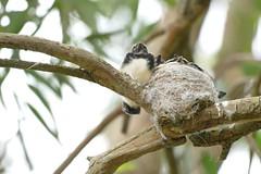 Willie Wagtails (henkel2009) Tags: wa willywagtail albanywesternaustralia nesting nestlings