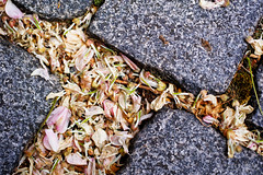 20191104-14-Remnants of spring (Roger T Wong) Tags: 2019 australia hobart metabones rogertwong sigma50macro sigma50mmf28exdgmacro smartadapter sonya7iii sonyalpha7iii sonyilce7m3 tasmania flowers pavingstones spring