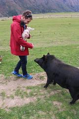 Farmyard (anakiwa_forever) Tags: newzealand holiday farm kingston southisland 119photoschallenge pig lamb