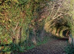 Sunlit descent (Phil Gayton) Tags: path track hedge tree sharpham drive heritage trail totnes devon uk