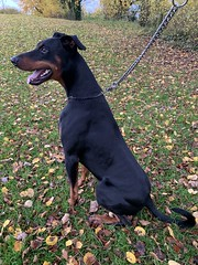 Doberman Pinscher Saxon (firehouse.ie) Tags: boy dog male s dobie saxon dobe dobey dobes dobeys doberman pinscher dobermann dobermans pinschers dobermanns canine k9 dobies