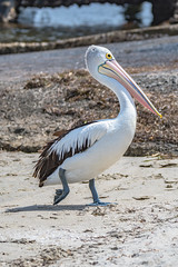 Pelican on the sand (Merrillie) Tags: coastal nsw brisbanewater wild wildlife bird australia davistown bay pelican outdoors walking fauna centralcoast newsouthwales animal