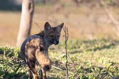 20190717-Paraguay-0443.jpg (deepskywim) Tags: vossen dieren zoogdieren sanmartíndepartment corrientes argentina