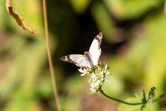 Butterfly (deepskywim) Tags: vlinders dieren sanignacio misionesprovince argentina