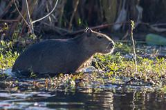 Capybara in Esteros del Iberá (deepskywim) Tags: zoogdieren dieren capybara sanmartíndepartment corrientes argentina