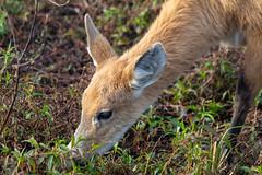 Deer in Esteros del Iberá (deepskywim) Tags: herten dieren zoogdieren sanmartíndepartment corrientes argentina