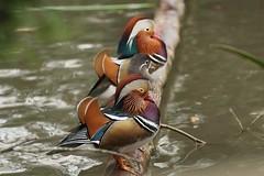 Mandarin ducks, WWT Slimbridge, UK (inyathi) Tags: uk england gloucestershire wwt slimbridge wildfowlandwetlandstrust wildfowl waterfowl birds ducks mandarinducks mandarin aixgalericulata