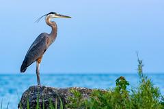 Local Great Blue Heron (David Hamments) Tags: bird ardeaherodias colchester beach ontario sunset greatblueheron gbh flickrunitedaward fantasticnature