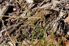 Zauneidechse (Lacerta agilis) (4) (naturgucker.de) Tags: ngidn1311004288 lacertaagilis zauneidechse