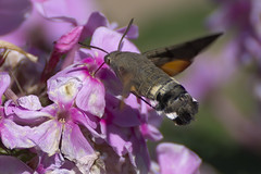 a Hummingbird Hawk-moth in flight (3/3) (Franck Zumella) Tags: dragonfly butterfly libellule papillon bleu rouge sphinx colibri moth vol fly flying wing wings sphynx animal nature insect fast green orange vert rapide flower fleur morosphinx caillelait macroglossum stellatarum moro hummingbird hawkmoth