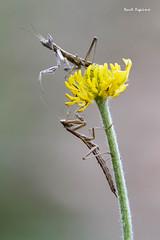 Mantis religiosa (Raul Espino) Tags: 2019 canon100mml canon6dmarkii macro macrofotografia natural naturaleza sevilla insectos mantisreligiosa