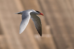 _D500957 (crispiks) Tags: birds flight hume dam spillway weir wall albury new south wales nikon d500 70200 f28 tern