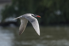 _D500971 (crispiks) Tags: birds flight hume dam spillway weir wall albury new south wales nikon d500 70200 f28 tern