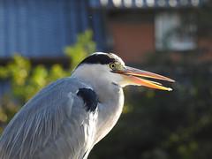 サギ (Z_marukun) Tags: サギ heron airone japan birdwatching nikonp900 coolpix coolpixp900 ardeidae 高槻 bird japaneseheron sagi