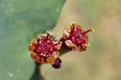 Euphorbia opuntioides (Ben Caledonia) Tags: euphorbiaceae euphorbia opuntioides